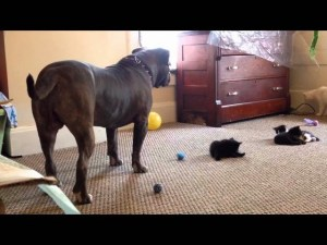 Kitten Sees A 100 lb Pit Bull For The First Time