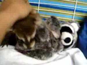 Cute Baby Raccoon video