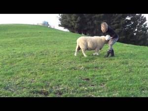 Cute Sheep Loves Playing Ball video