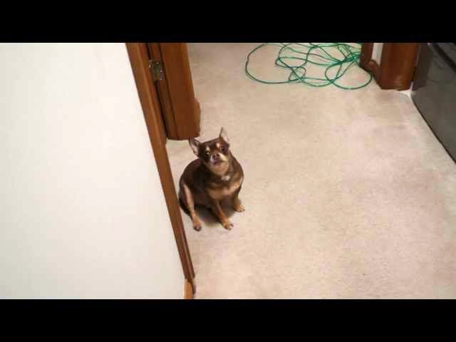 (VIDEO) Talking Chihuahua Gets Upset That His Toy Is Being Washed video