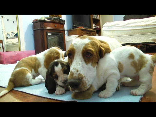 Basset Hound Mom Protects Puppies