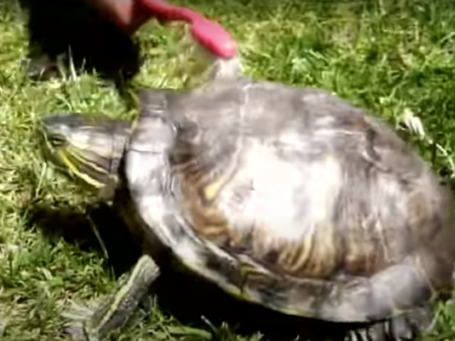 Turtle is Dancing at 'Satisfaction' Song