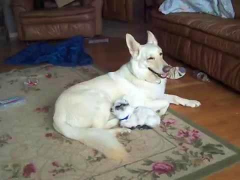 German Shepherd And Her Baby Goat