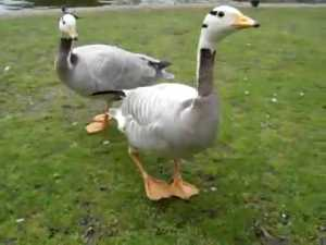 The Happiest Goose in the World video