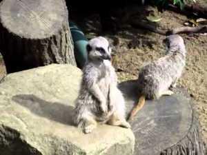 I'm Not Sleeping Funny Meerkat video