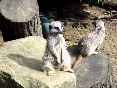 Meerkat Is Trying To Stay Awake