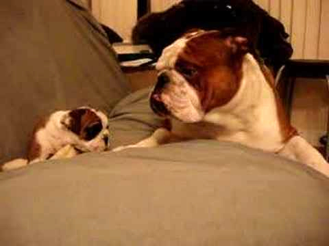 Bulldog Father Meets Daughter For The First Time video