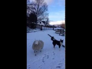 Sheep Raised By Dogs Thinks She's Part of the Pack