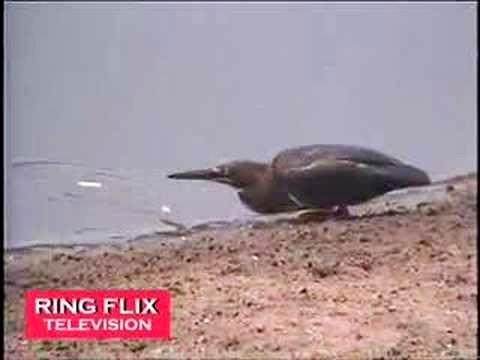 Amazing Bird Fishes Like A Human