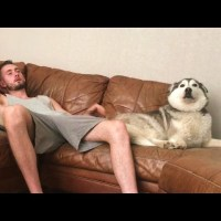 Millie the Husky Dog Gets Frustrated When Her Human Doesn't Pet Her