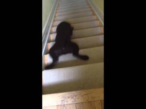 'Stair-Surfing' Chocolate Lab Puppy Slides Down the Stairs Video