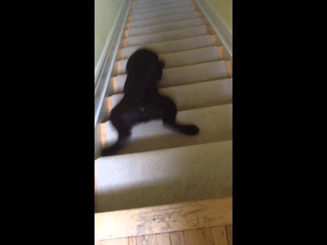 'Stair-Surfing' Chocolate Lab Puppy Slides Down the Stairs
