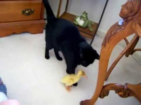 (VIDEO) Baby Duck Follows Cat