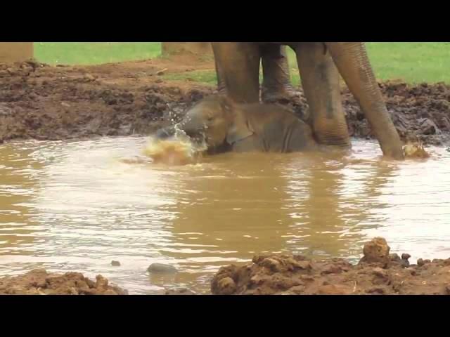 Baby Elephant, Navann, Plays In Mud Pit
