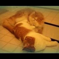 Cats Playing Footsies