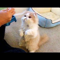 This Cat Loves Being Fed With Chopsticks
