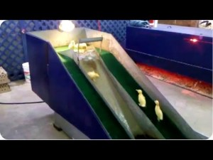 (VIDEO) Baby Ducklings Play On A Slide