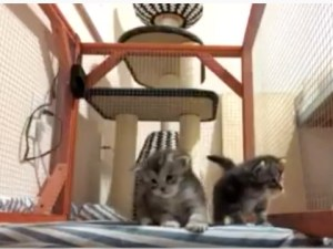 Adorable Maine Coon Kittens Learning to Walk