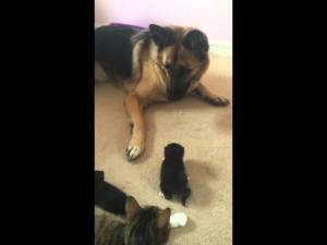 VIDEO: German Shepherd Frightened By Kitten