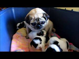 Pug Thinks She Is A Mom Again