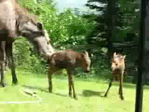 Moose Family Staying Cool