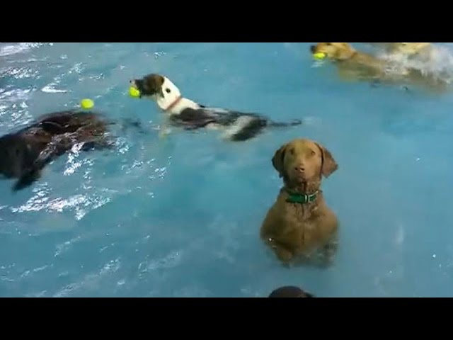Hilarious Dog Deadpans In Pool Full Of Playful Pups