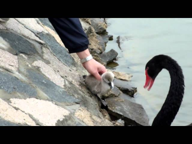 Baby Black Swan's First Swimming Lesson