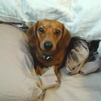 Little Dachshund Doesn't Want to Get Out of Bed