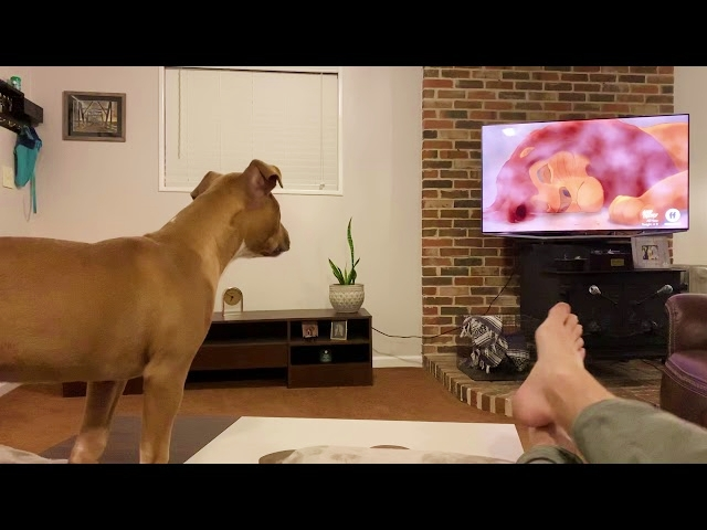 """Pit Bull's AMAZING Reaction to Mufasa's Death in """"The Lion King"""""""