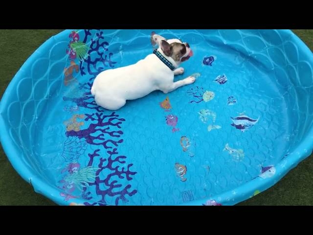 French Bulldogs Don't Need Water To Swim