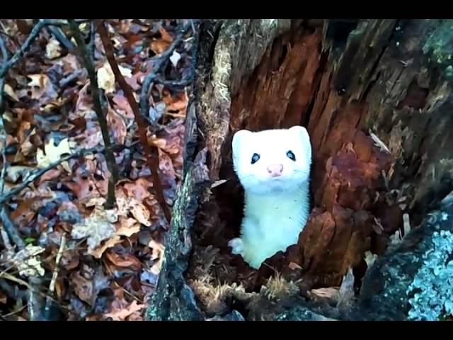 Cute Ermine In A Tree