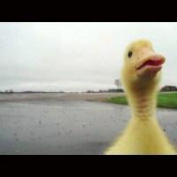 Cute Duckling Follows Man