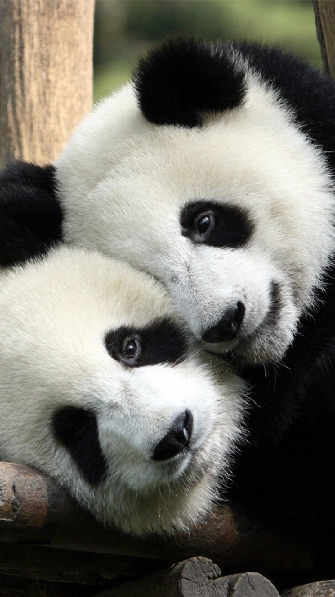Real Panda Wallpaper - Cool Wallpapers
