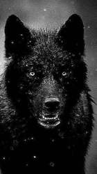 Wolf Iphone Backgrounds posted by Sarah Peltier