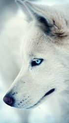 Wolf Wallpaper Iphone posted by Ethan Cunningham