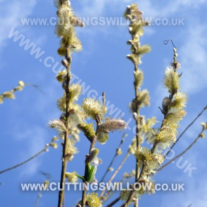 willow cuttings flowering