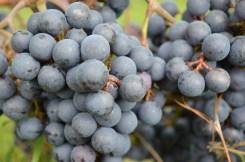 Grapes 6