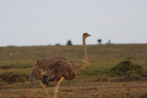 Maasai Ostrich (female)