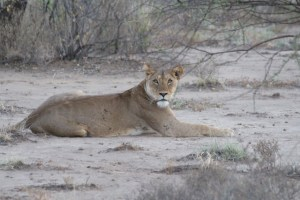 One of the Magadi Lionesses