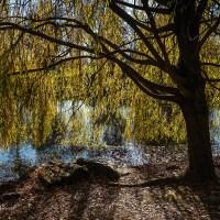Under a Golden Willow