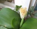 Гемантус уход в домашних условиях. Гемантус: уход за цветком в домашних условиях, всё о посадке и размножении. Правильный уход за гемантусом
