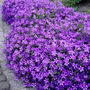 Цветы садовые в виде колокольчиков. Секреты пышного цветения колокольчиков