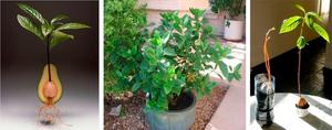 Как вырастить плоды авокадо в домашних условиях. Как посадить косточку авокадо: особенности выращивания дерева. Как вырастить авокадо в домашних условиях