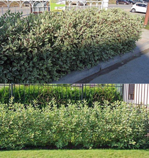 Дерен белый – условия и способы культивирования кустарника. Кустарник дерен: виды, посадка, уход