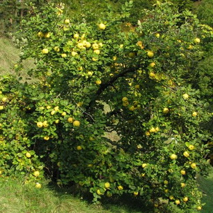 Tavallisimmin on myynnissä Issai-niminen yksikotinen lajike, joka on talvenkestoltaan yksi.