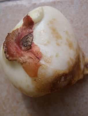 Плесень на луковицах тюльпанов что делать