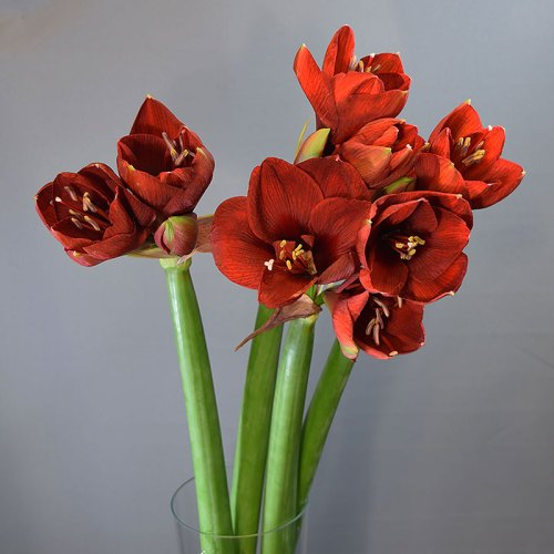 crveni-amarilis