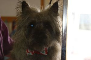 Cairn Terrier after grooming in Tucson