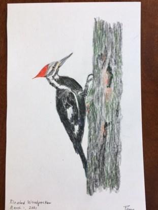 Pamela Walker: Pileated Woodpecker