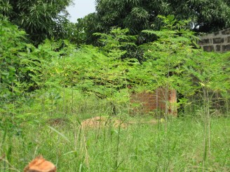 Outgrower Moringa Farm at Aveyime